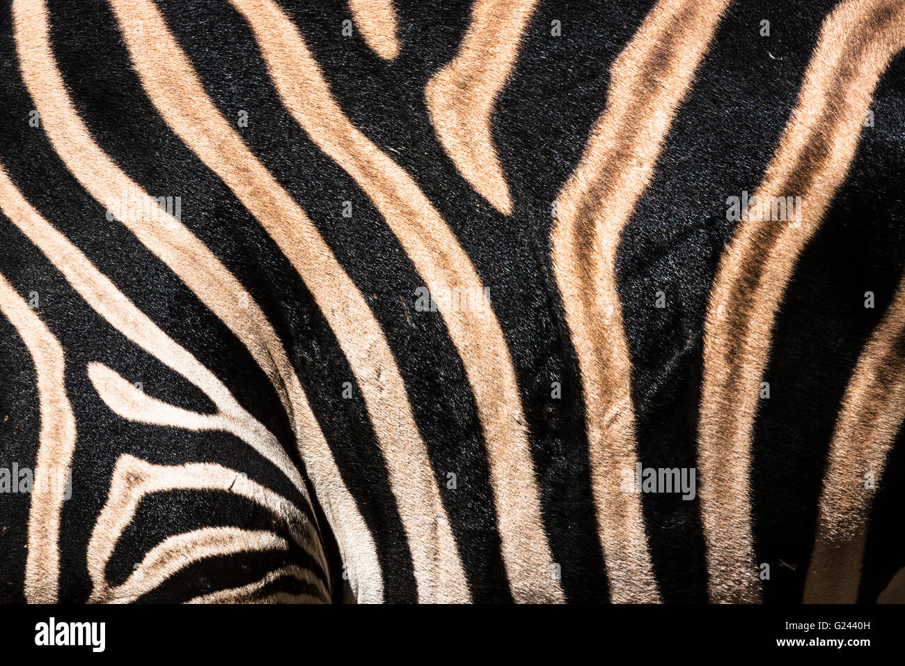 Detail Of Zebra Equus Quagga Chapmani Stripes. - Stock Image