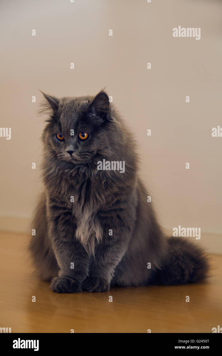 Cute long-haired grey cat with startling orange colored eyes sitting on wooden floor at home. - Stock Image