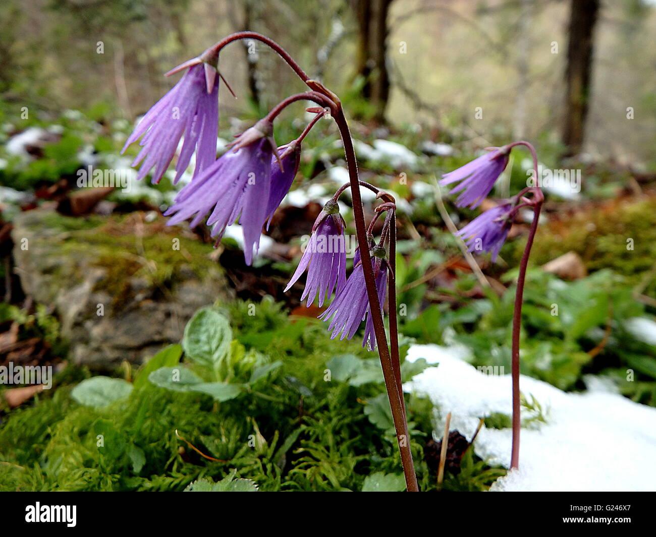 Soldanelka Mountain Soldanella Montanasmall Purple Flower In