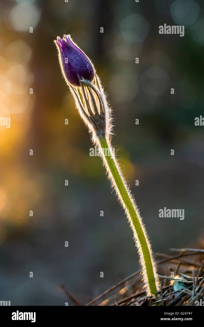 Eastern pasqueflower (Pulsatilla patens) - Stock Image