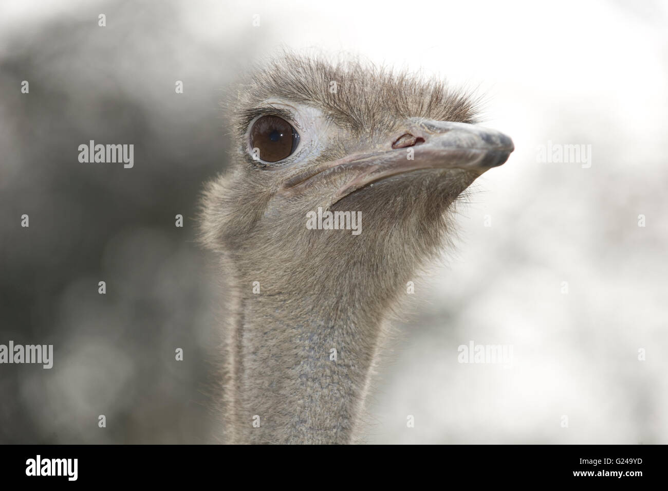 Common Ostrich Struthio Camelus Portrait Linz Zoo Linz Upper