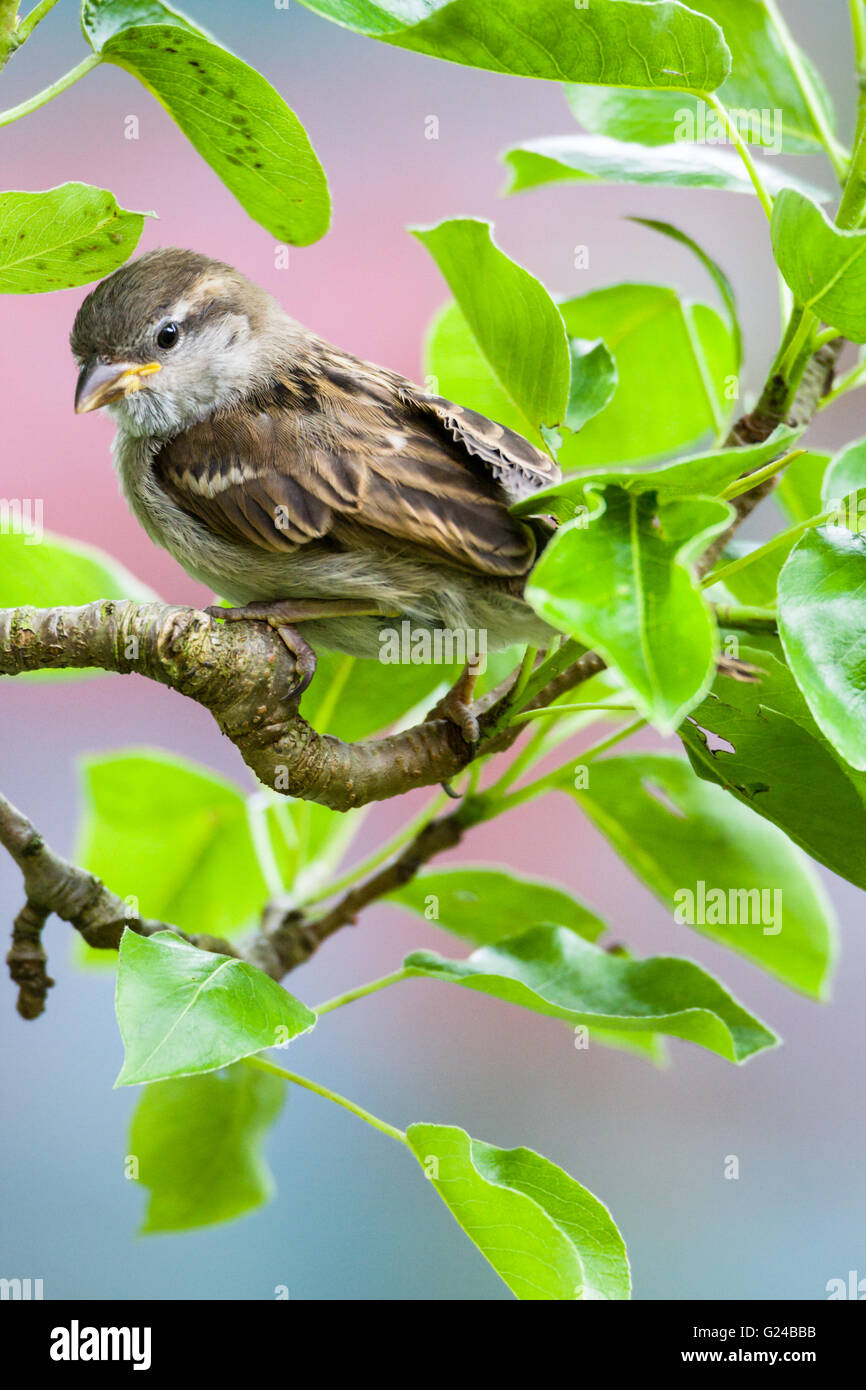 Immature House Sparrow Passer domesticus sitting in tree. Stock Photo
