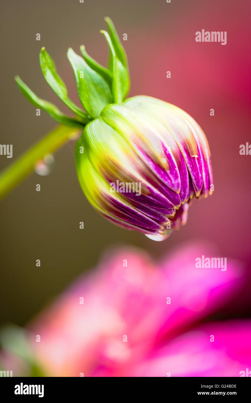 Dahlia flower bud just opening in domestic garden - Stock Image