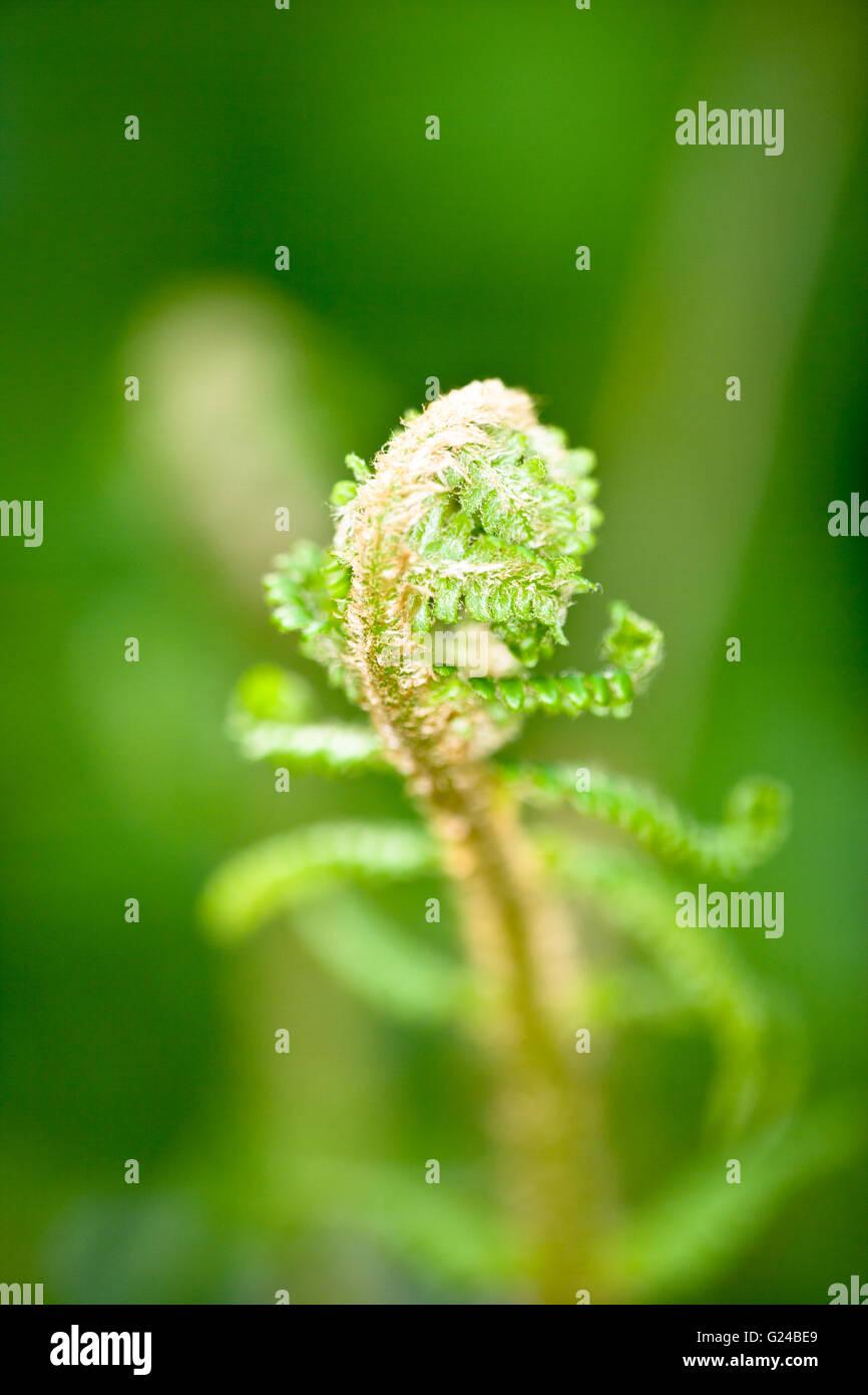 Bracken Pteridium aquilinum leaf spear just opening Stock Photo