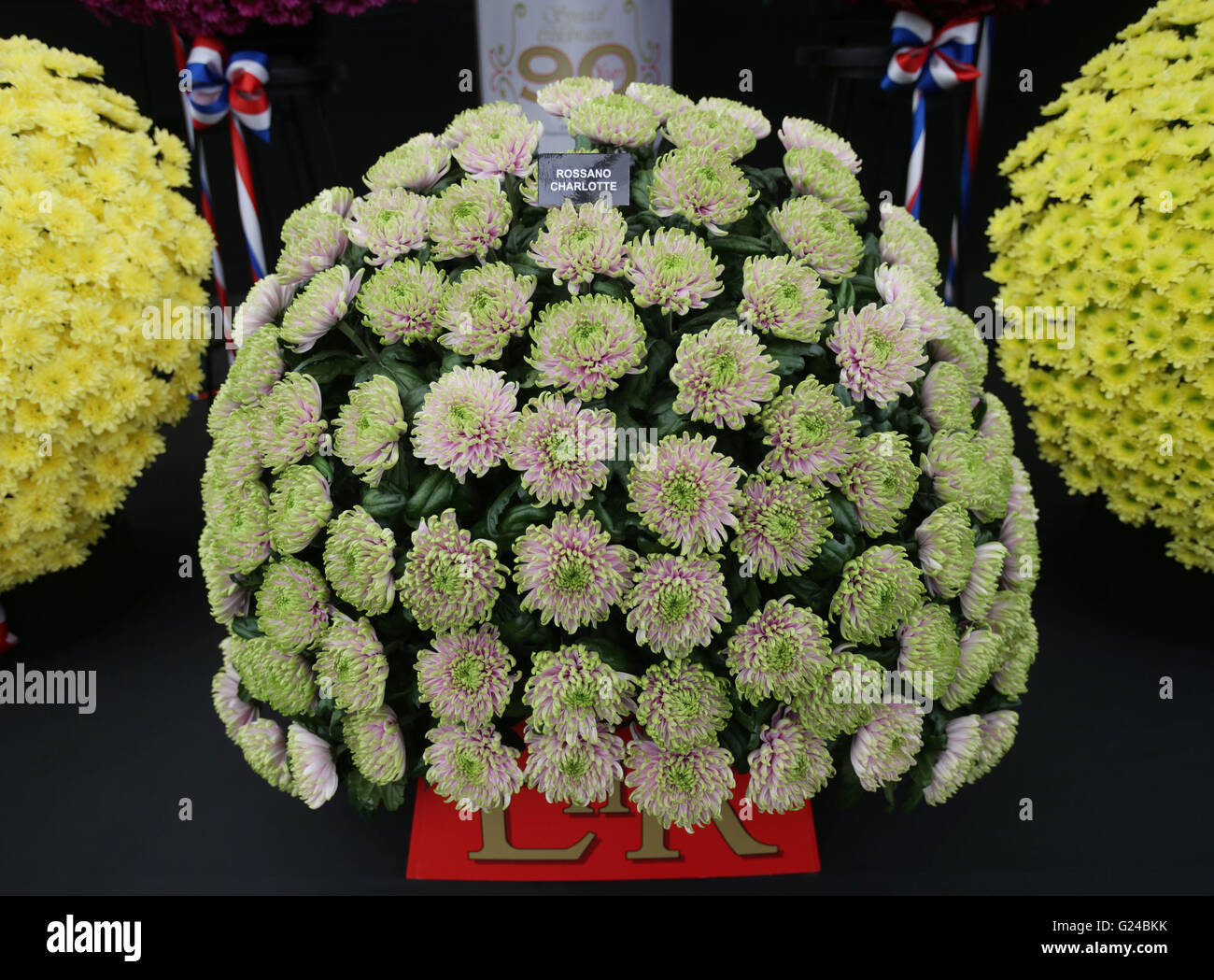 A flower named Rossano Charlotte in honour of Princess Charlotte on display at the National Chrysanthemum Society Stock Photo