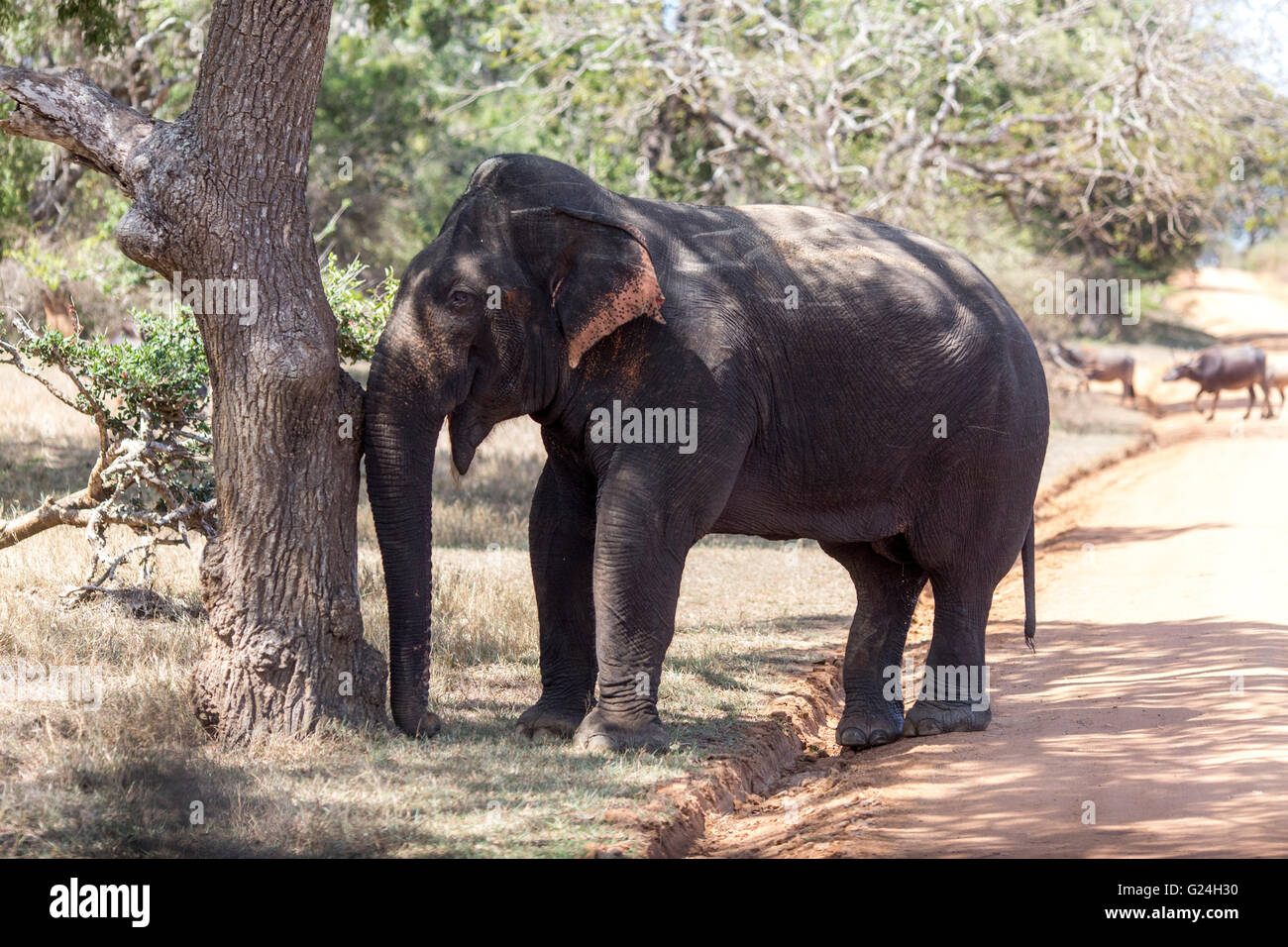 Sri Lanka Elephant High Resolution Stock Photography And Images Alamy Indian elephant african bush elephant elephantidae sri lankan elephant, abstract modern, mammal, painting png. https www alamy com stock photo yala national park sri lanka an elephant scratches against a tree 104592740 html