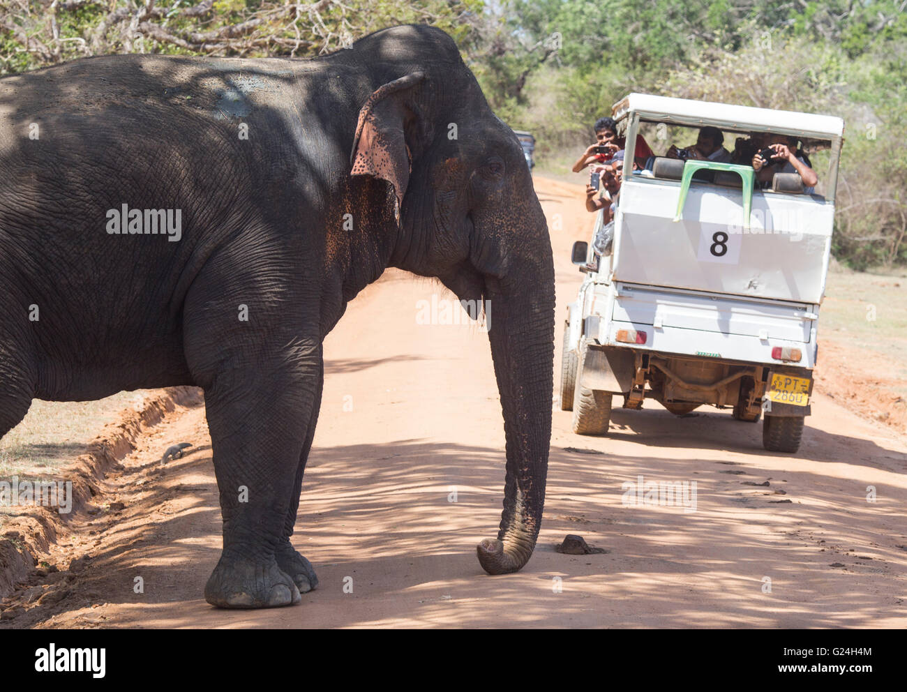 Yala National Park , Sri Lanka. An elephant is watched by tourists in a van - Stock Image