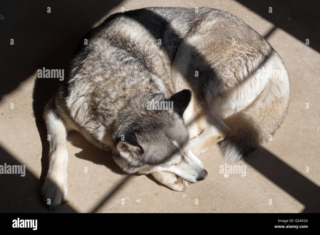 Dog, a Siberian Husky (Canis lupus familiaris), seeking warmth of sunlight shining through a window frame onto a - Stock Image