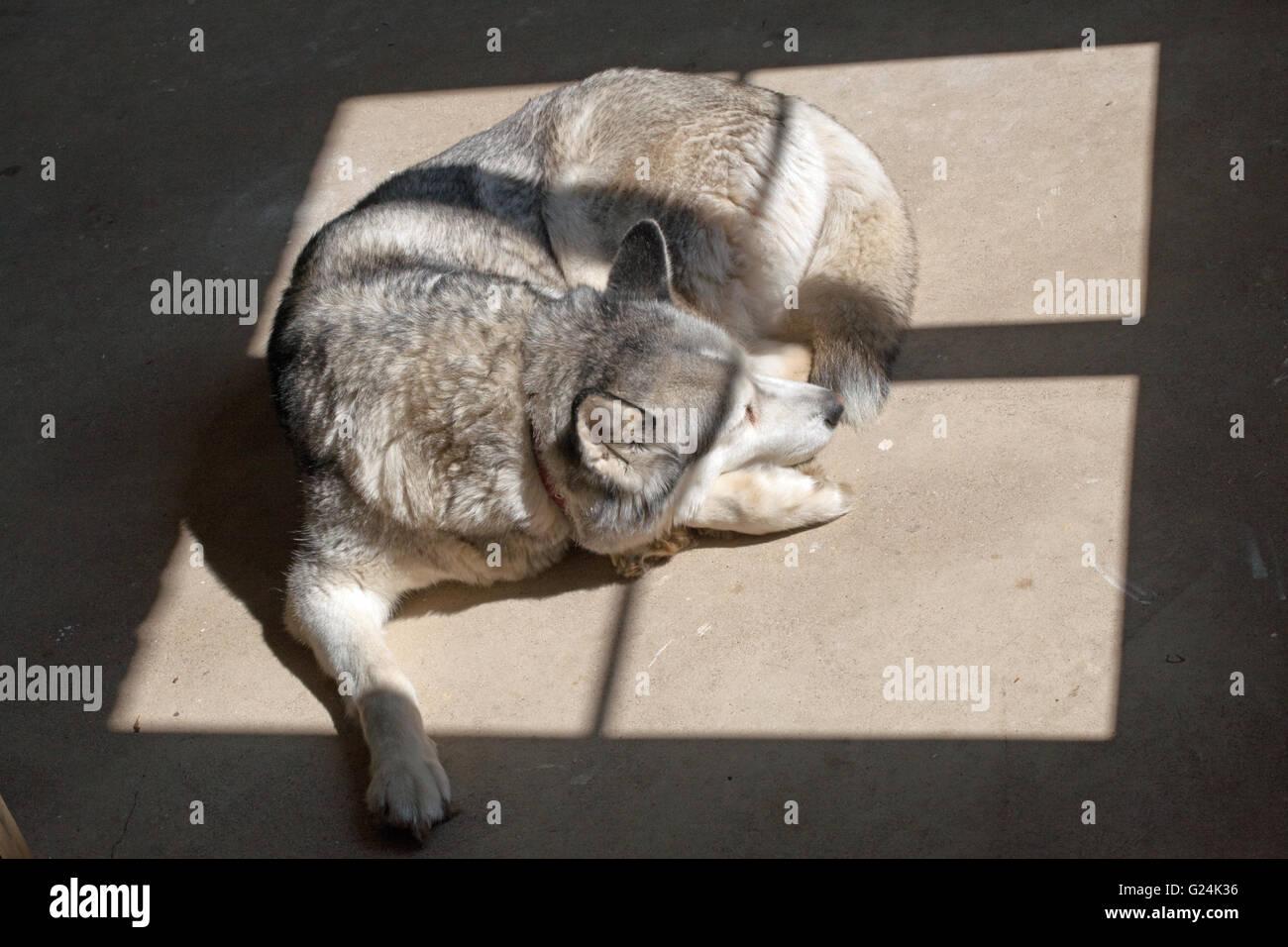 Dog, a Siberian Husky (Canis lupus familiaris), seeking warmth of sunlight shining through a window frame onto a - Stock Image