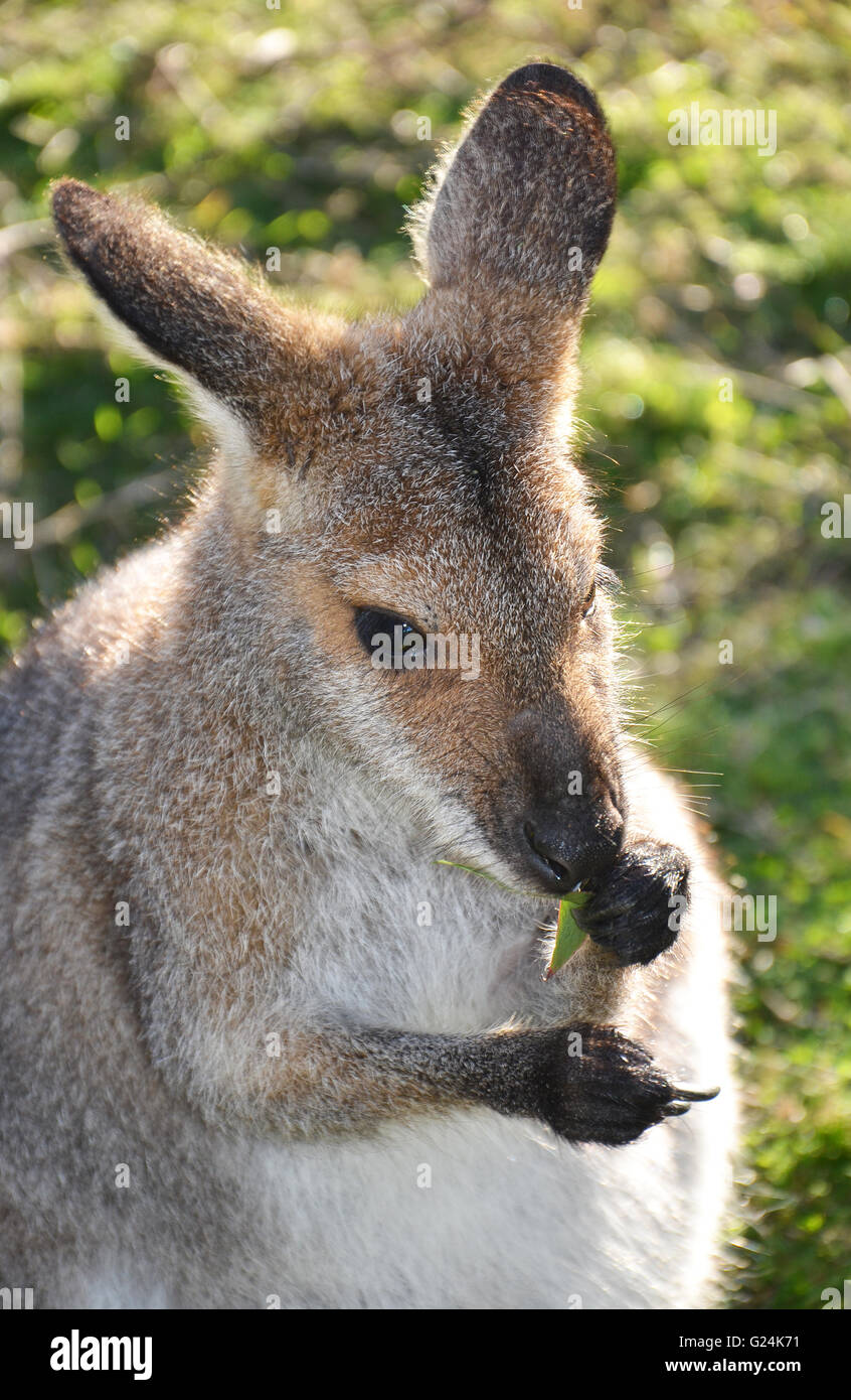 Wallaby (small kangaroo) eating and holding gum leaves - Stock Image