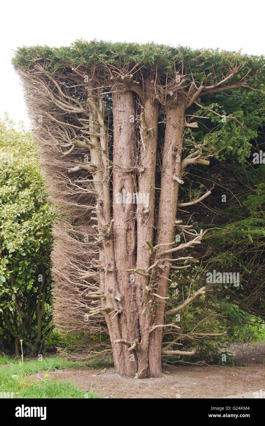 Yew hedge (Taxus baccata). Hedge cut back revealing trunks and side branching within. Raveninham Gardens. Norfolk. - Stock Image