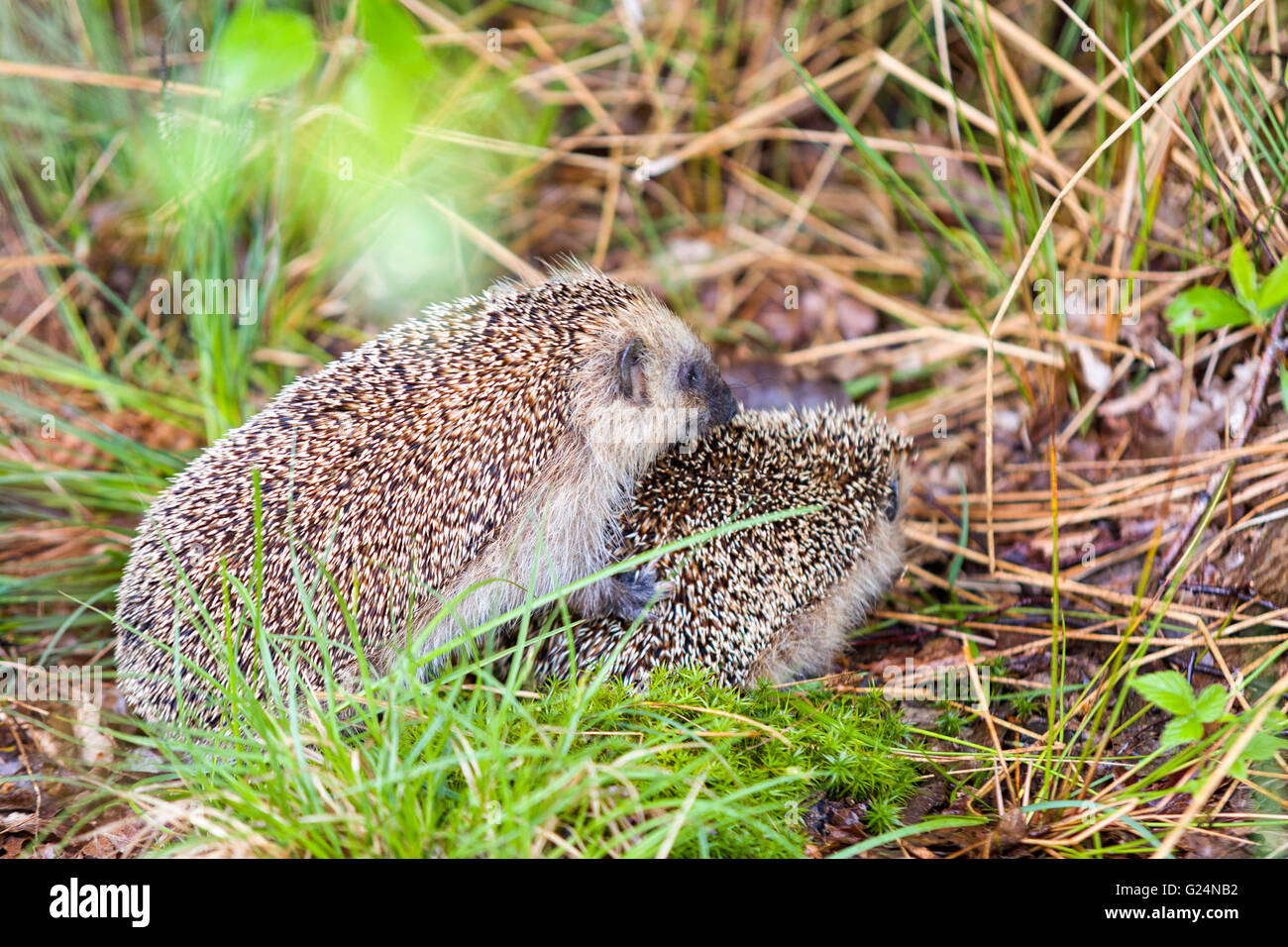 European hedgehogs (Erinaceus europaeus) mating  Model Release: No.  Property Release: No. - Stock Image