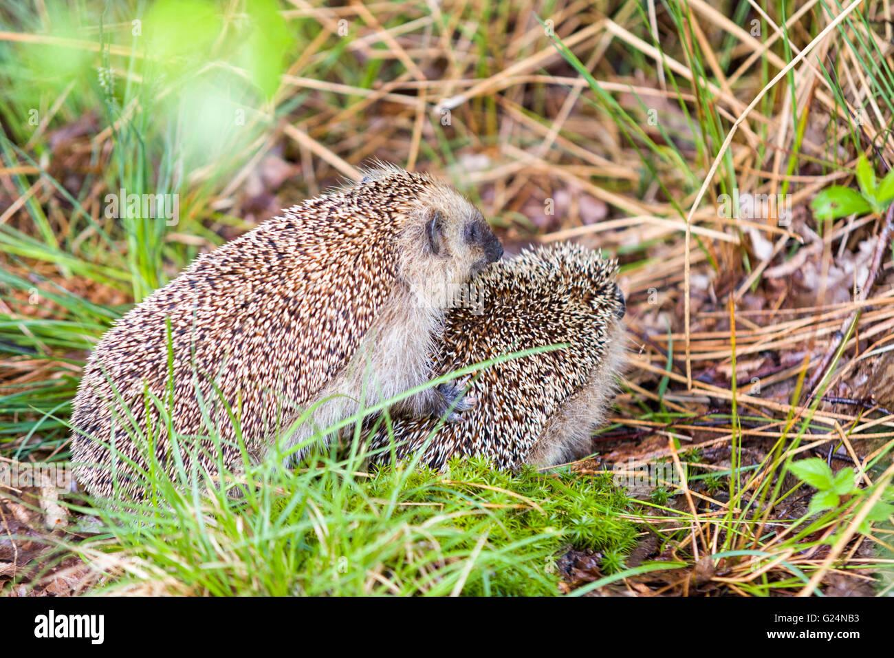 European hedgehogs (Erinaceus europaeus) mating  Model Release: No.  Property Release: No. - Stock Image