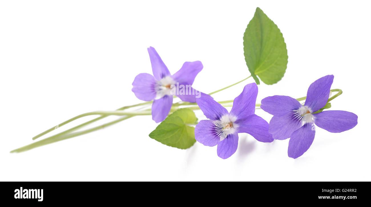 sweet violet, viola  isolated on white background - Stock Image