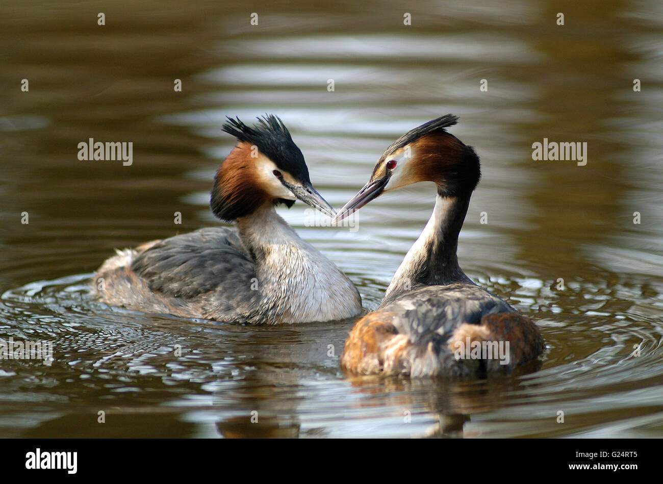 Great crested grebe (Podiceps cristatus) couple swimming in pond in spring - Stock Image