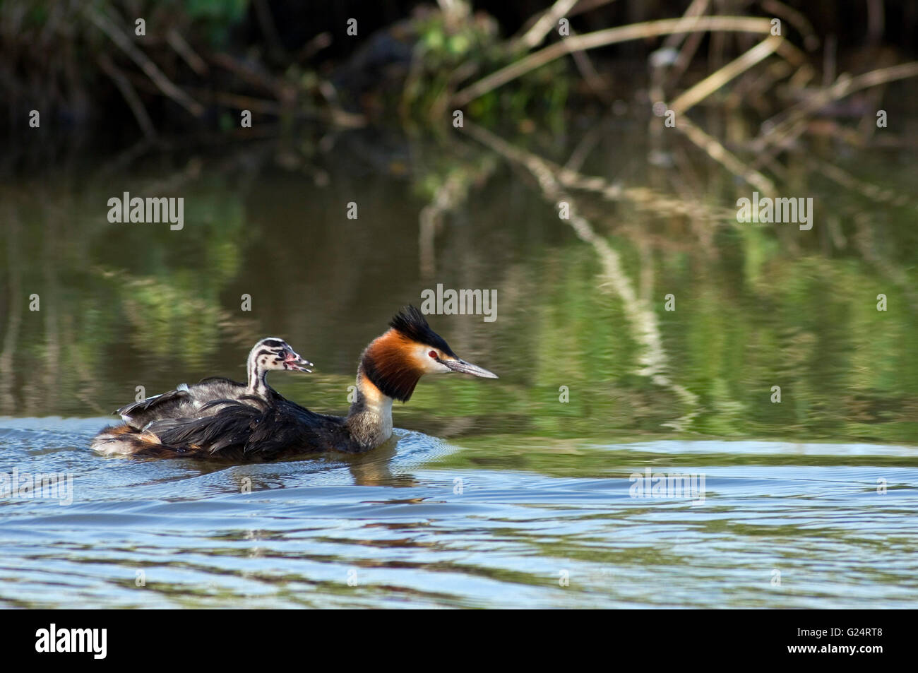 Great crested grebe (Podiceps cristatus) swimming in pond while carrying chick on its back - Stock Image