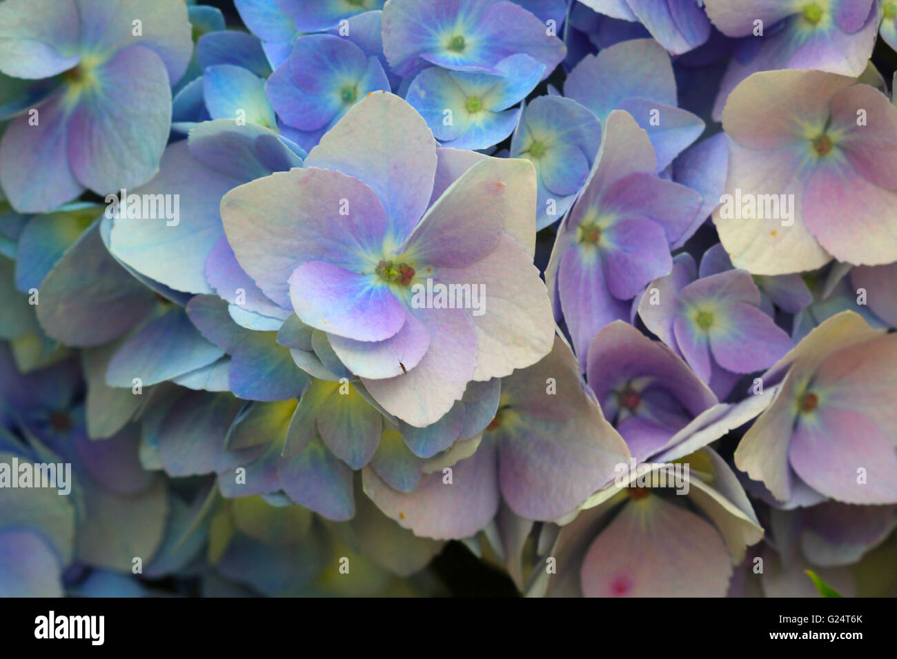 Hydrangeas are extremely vigorous, long-lived shrubs that offer varied and extravagant blooms throughout summer - Stock Image