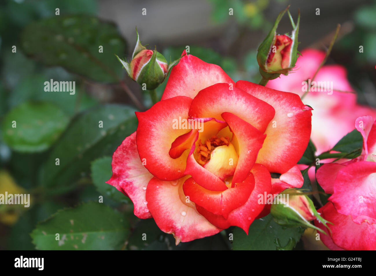 A rose is a woody perennial flowering plant of the genus Rosa, in the family Rosaceae, or the flower it bears. Stock Photo