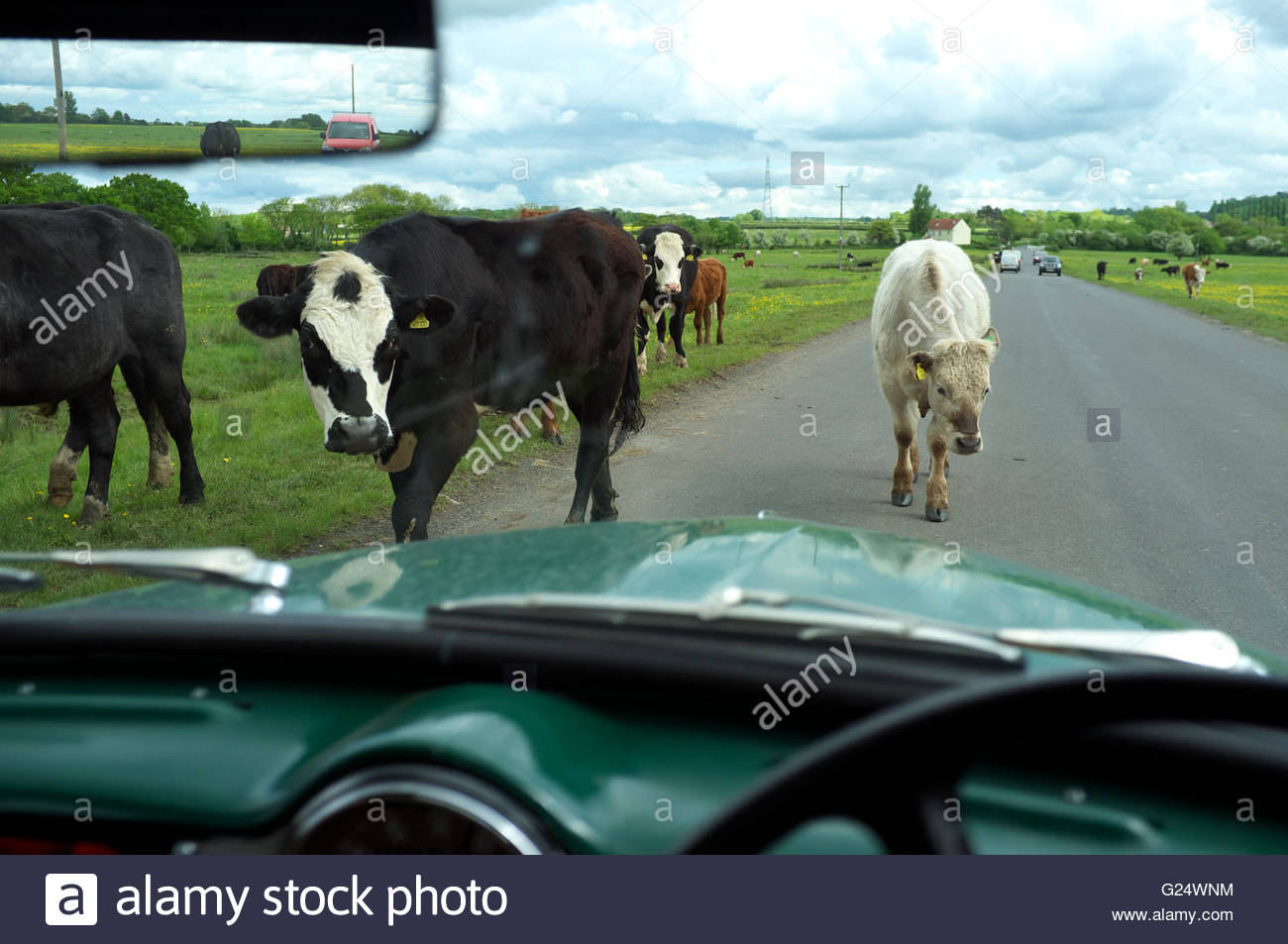 Cattle wander across the road that passes over Chipping Sodbury Common, in South Gloucestershire, UK. - Stock Image