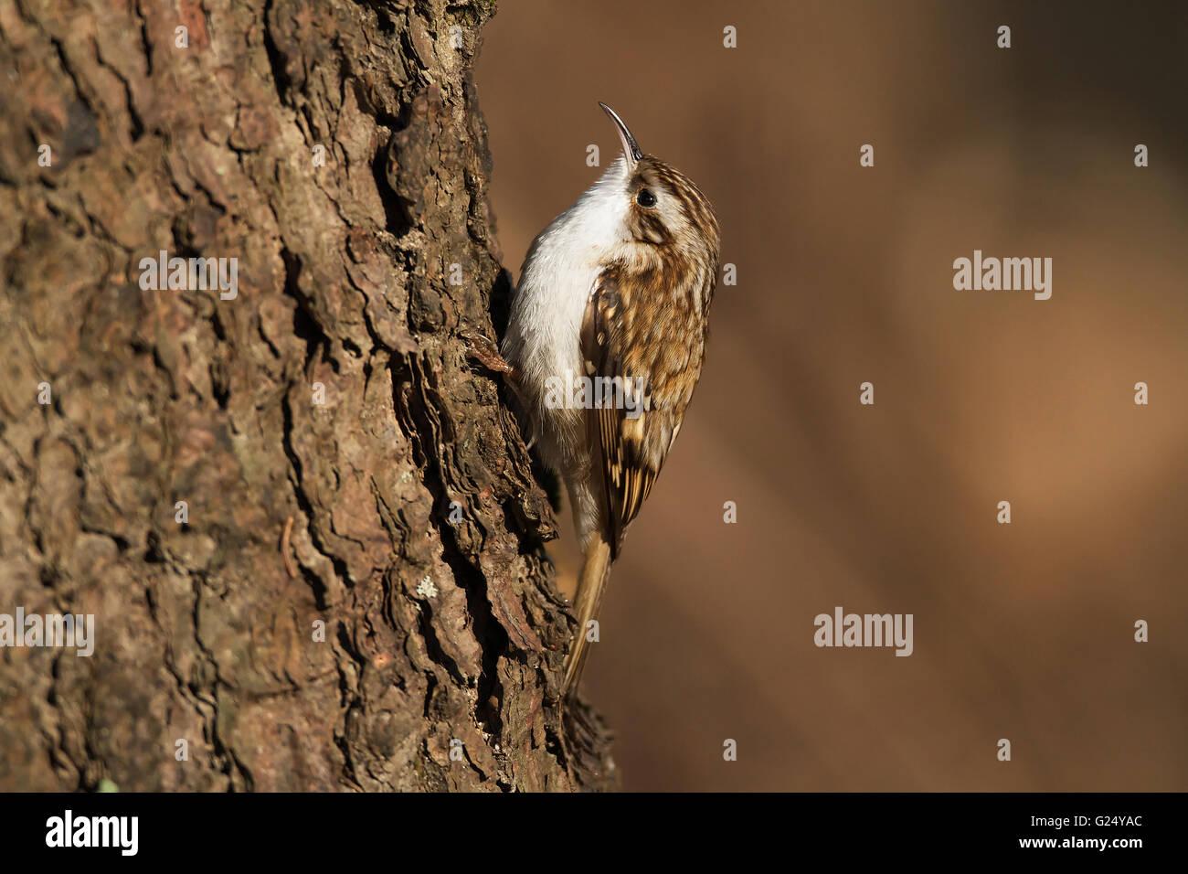 Short-toed Treecreeper - Stock Image