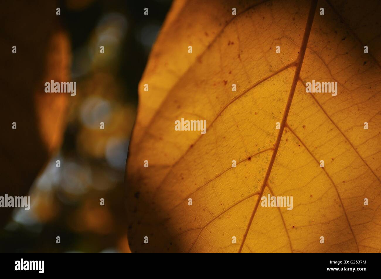 Detail view of autumn leaf with blurred background - Stock Image