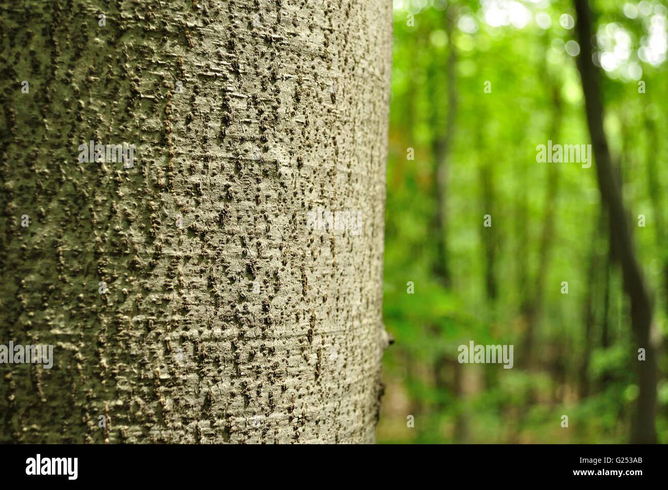 Detail view of tree trunk with blurred forest in background - Stock Image