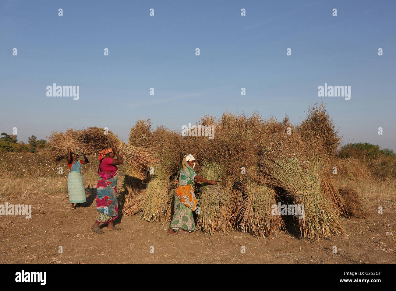 PRADHAN TRIBE - Tribal women stacking the Tur sheaf. Pradhan boti Village, Kalam Taluka, in Maharashtra in India - Stock Image