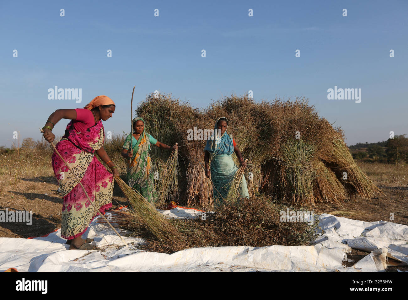 PRADHAN TRIBE - Tribal women beating the Tur Sheaf in Pradhan boti Village, Kalam Taluka, in Maharashtra in India - Stock Image
