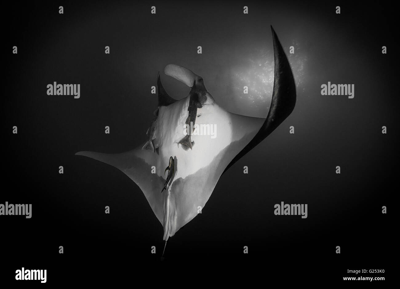 Oceanic Manta ray swimming Socorro, Mexico - Stock Image