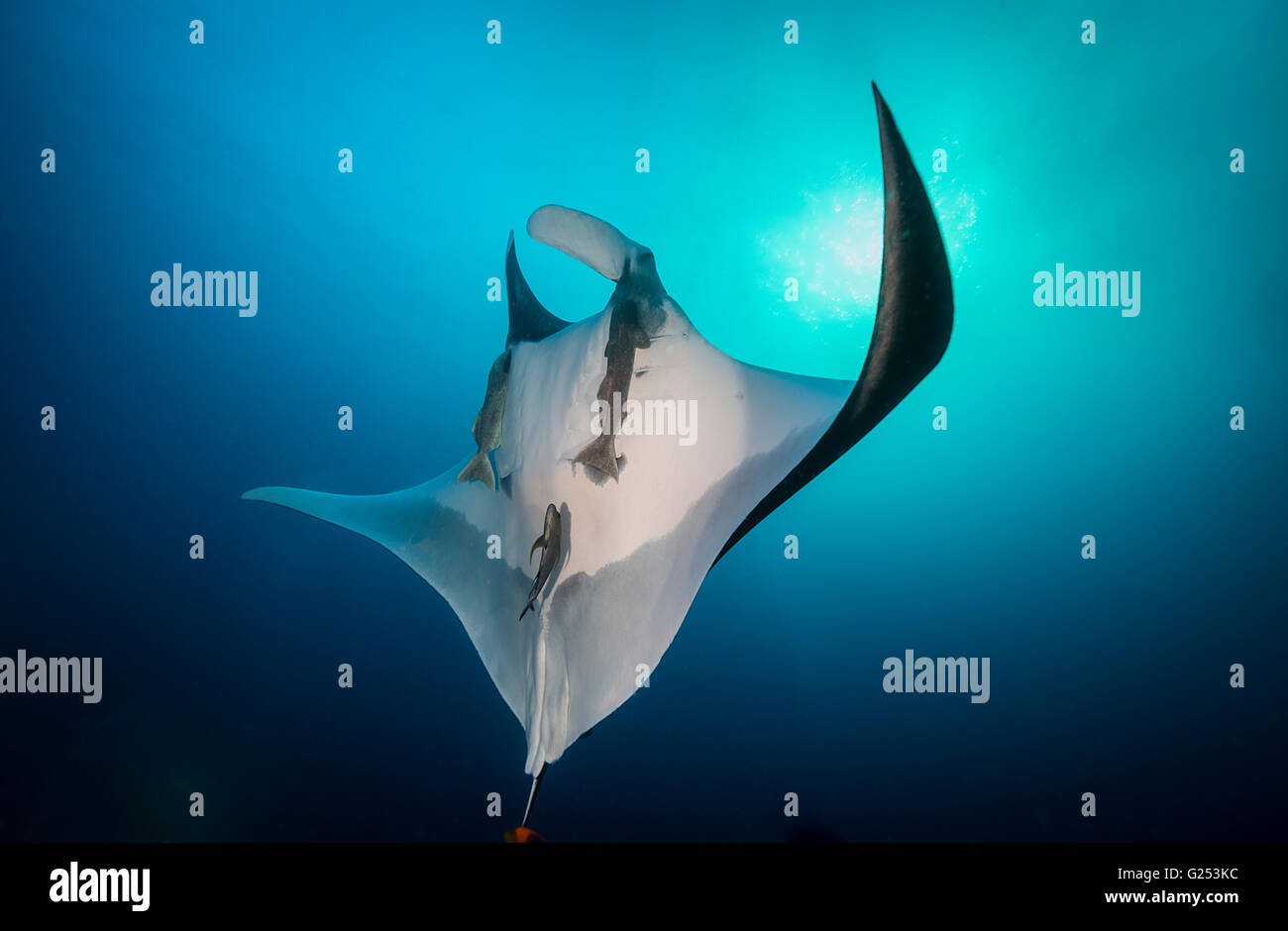 Oceanic Manta ray swimming Socorro, Mexico - Stock Image