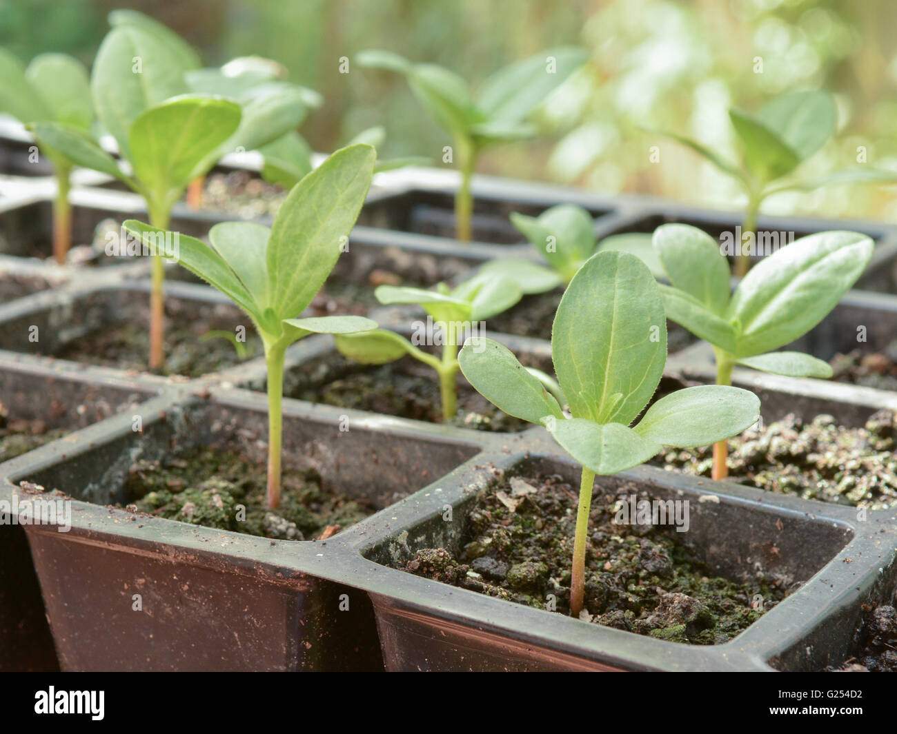 seedlings in plastic modular tray - Stock Image