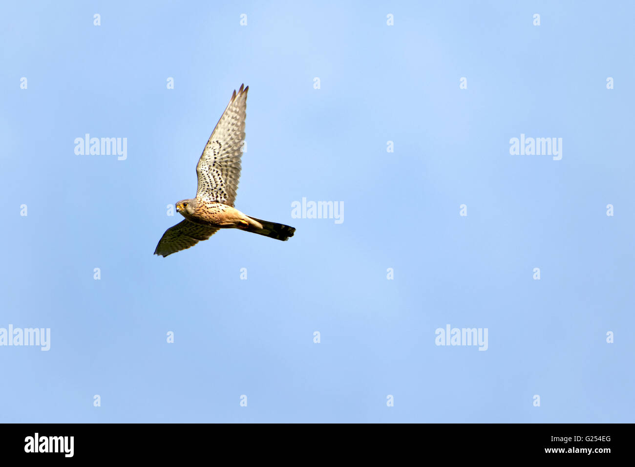 Lesser Kestrel (Falco naumanni), adult male in flight, Upper Bavaria, Germany, Europe Stock Photo