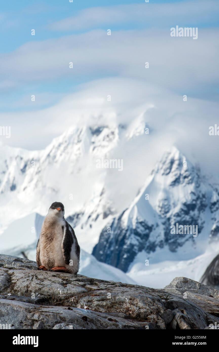 Gentoo Penguin chick standing on rock Petermann Island, Antarctica - Stock Image