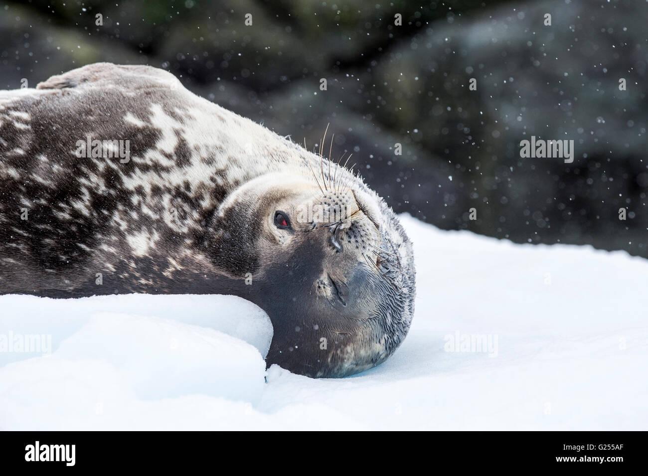 Weddell Seal sleeping Paradise Bay, Antarctica - Stock Image