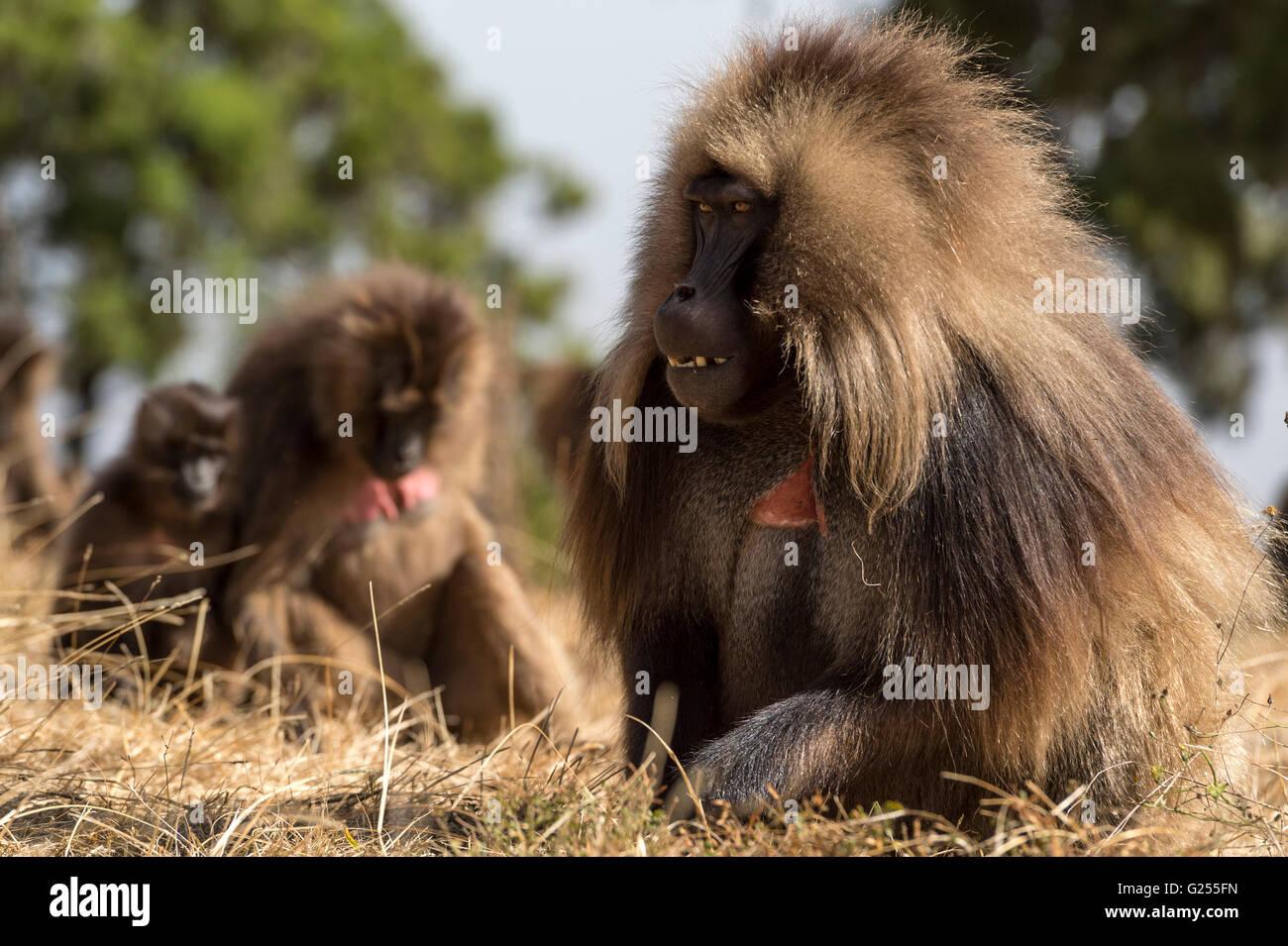 Gelada Monkeys feeding on grass Simien Mountains National Park, Ethiopia - Stock Image