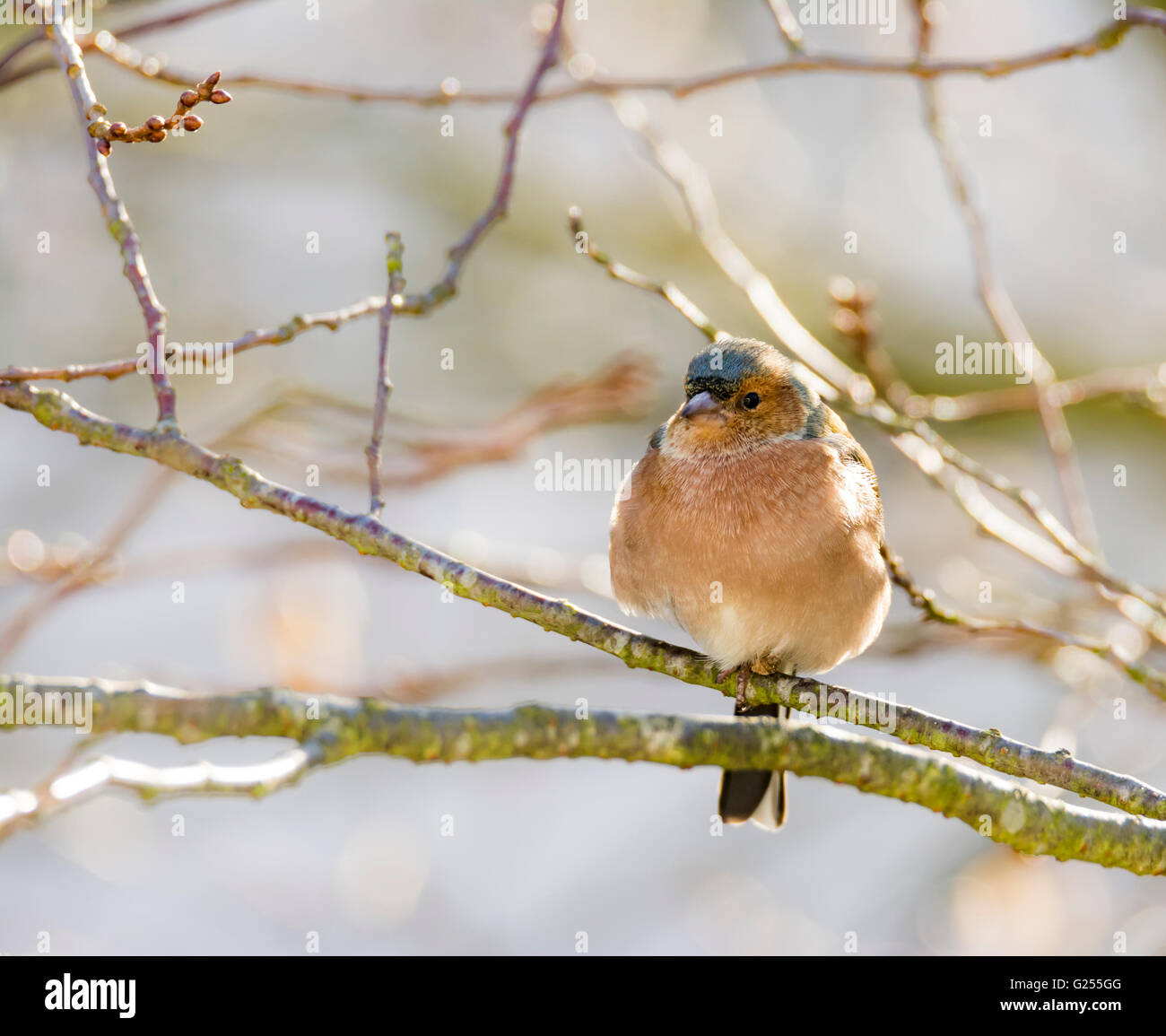 Common chaffinch (Fringilla coelebs) sitting on the twig of a tree - Stock Image