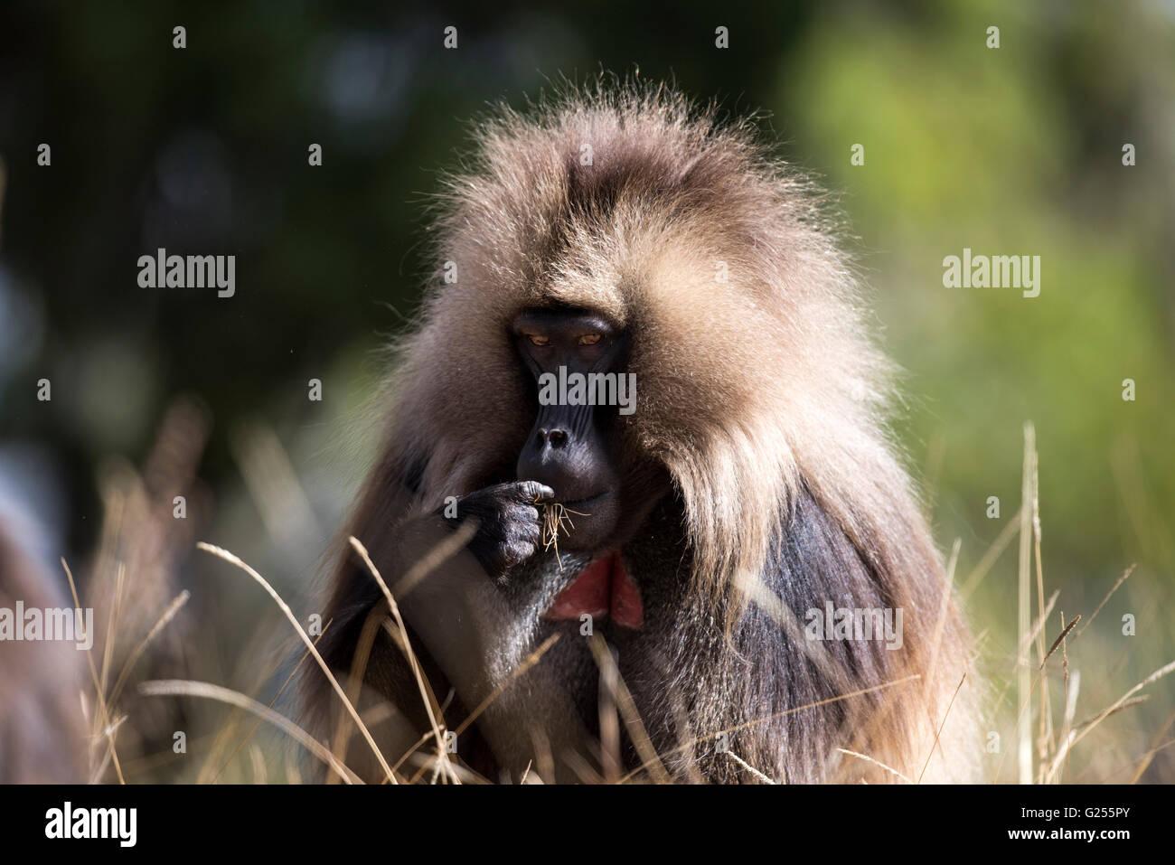 Gelada Monkey feeding on grass Simien Mountains National Park, Ethiopia - Stock Image