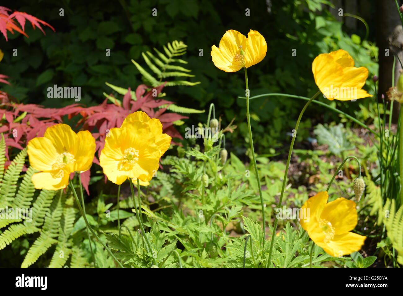 The Welsh poppy, is a perennial flowering plant in the poppy family Papaveraceae. Meconopsis cambrica Stock Photo