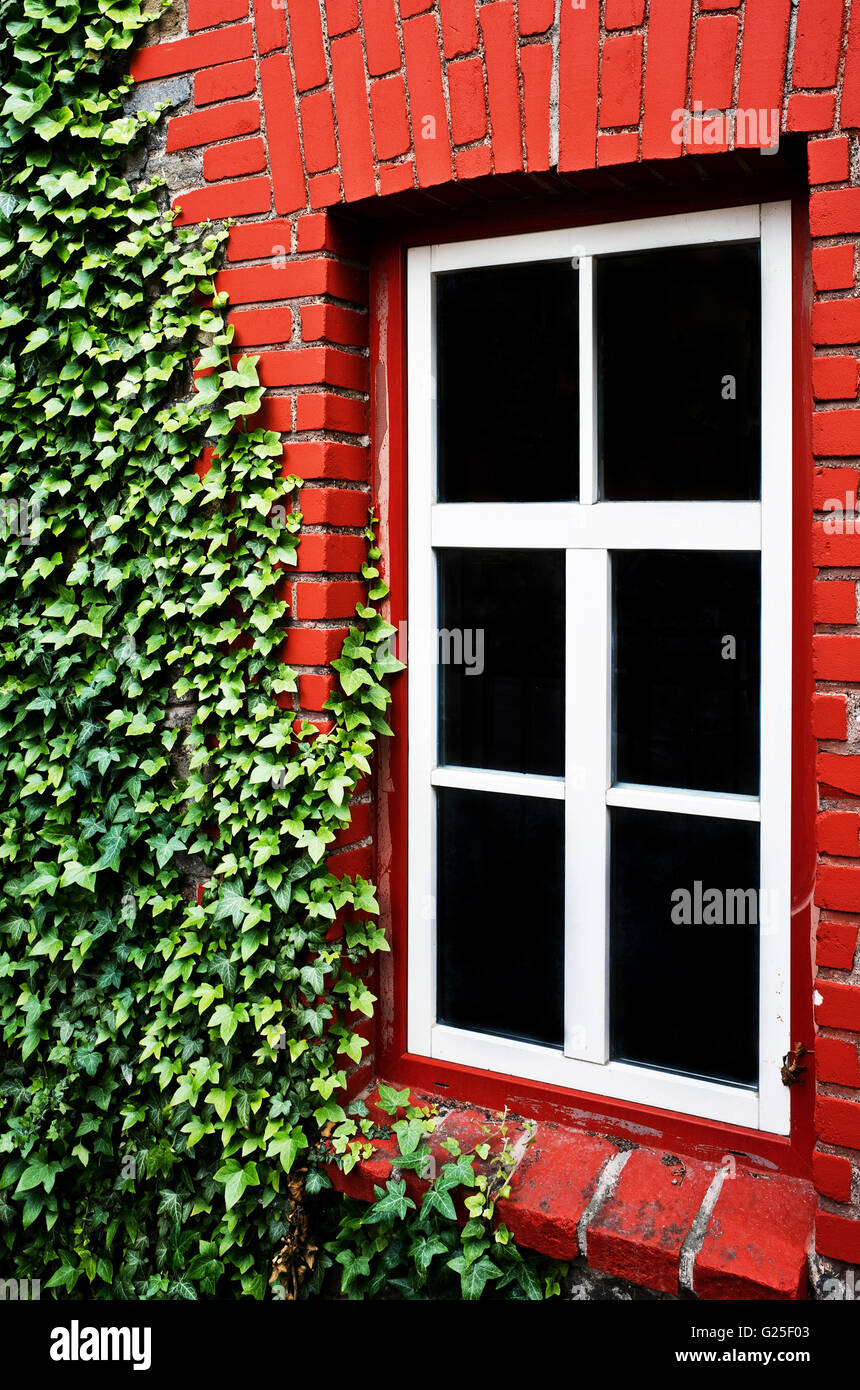 house of red bricks, detail with white framed window and green ivy plant - Stock Image