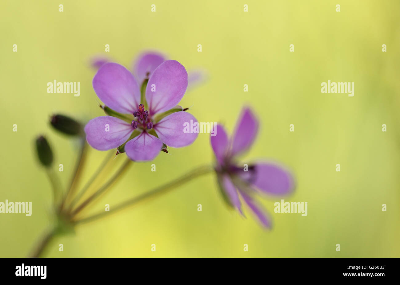 Flower of redstem filaree or redstem stork's bill (Erodium cicutarium) - Stock Image
