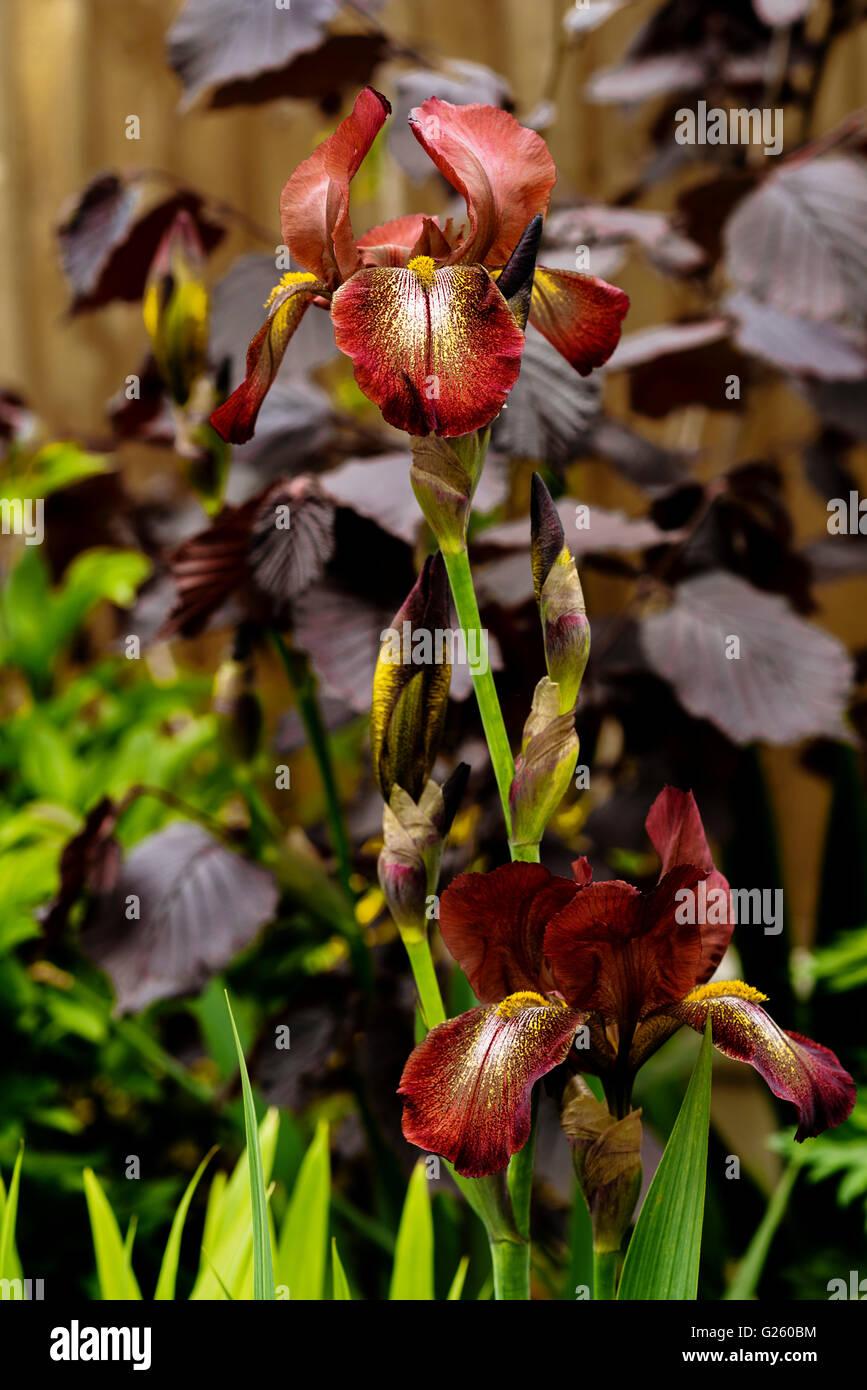 Iris Kent Pride, iridaceae, bearded. - Stock Image