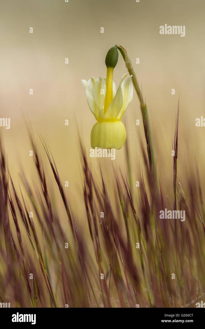 Angel's Tears (Narcissus triandrius). - Stock Image