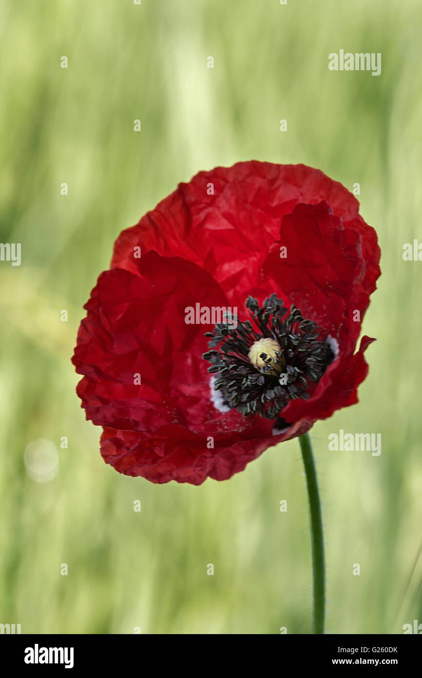 Common poppy (Papaver rhoeas). - Stock Image