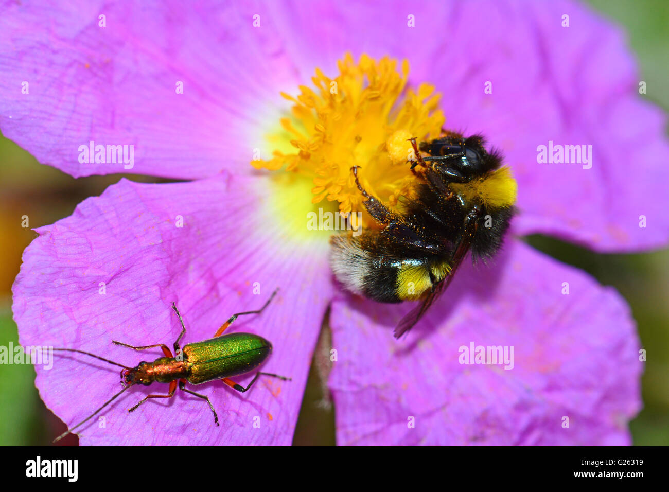Bumble bee and beetle Pollinating flower - Stock Image