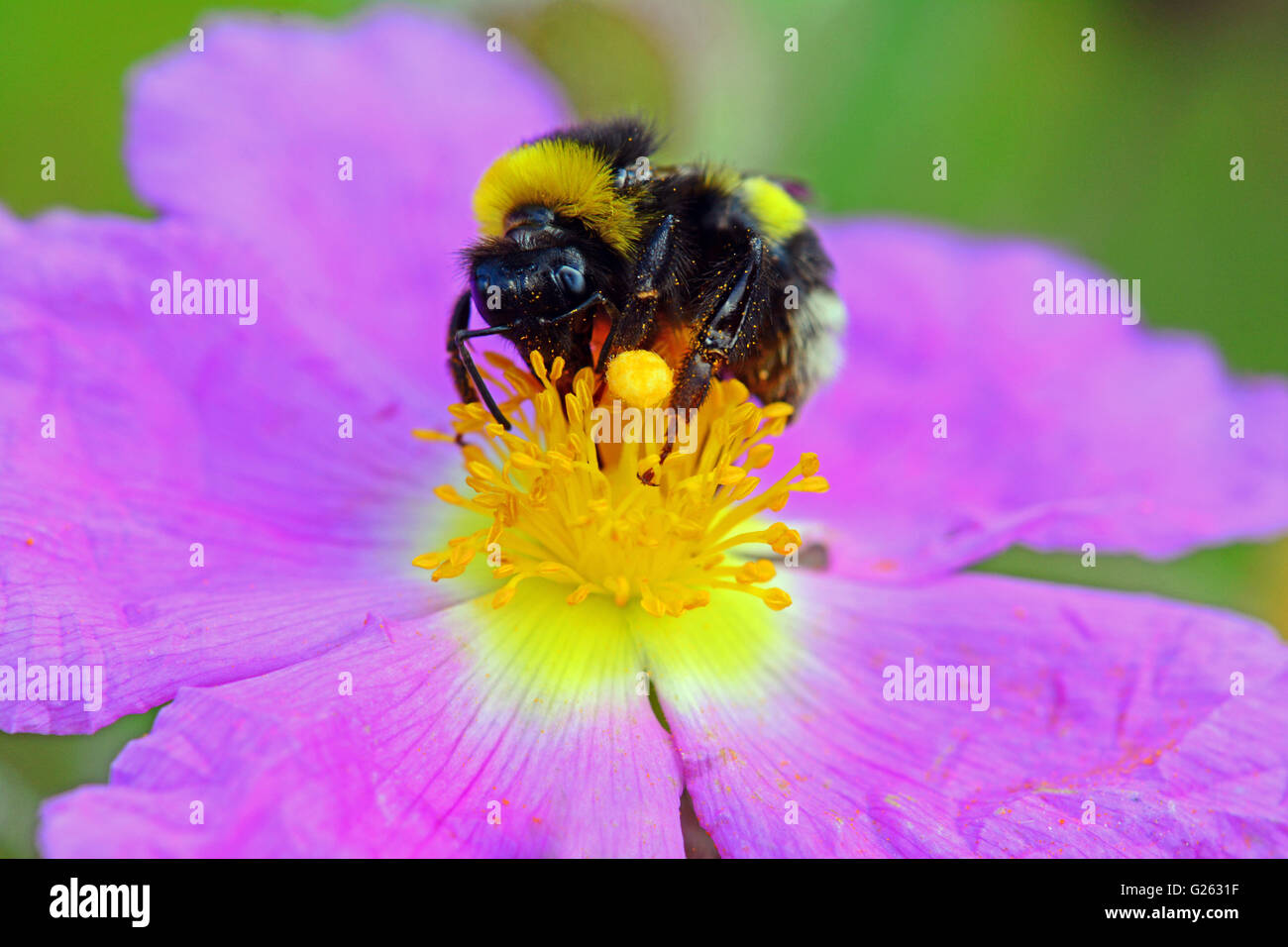Bumble bee pollinating flower, up close - Stock Image