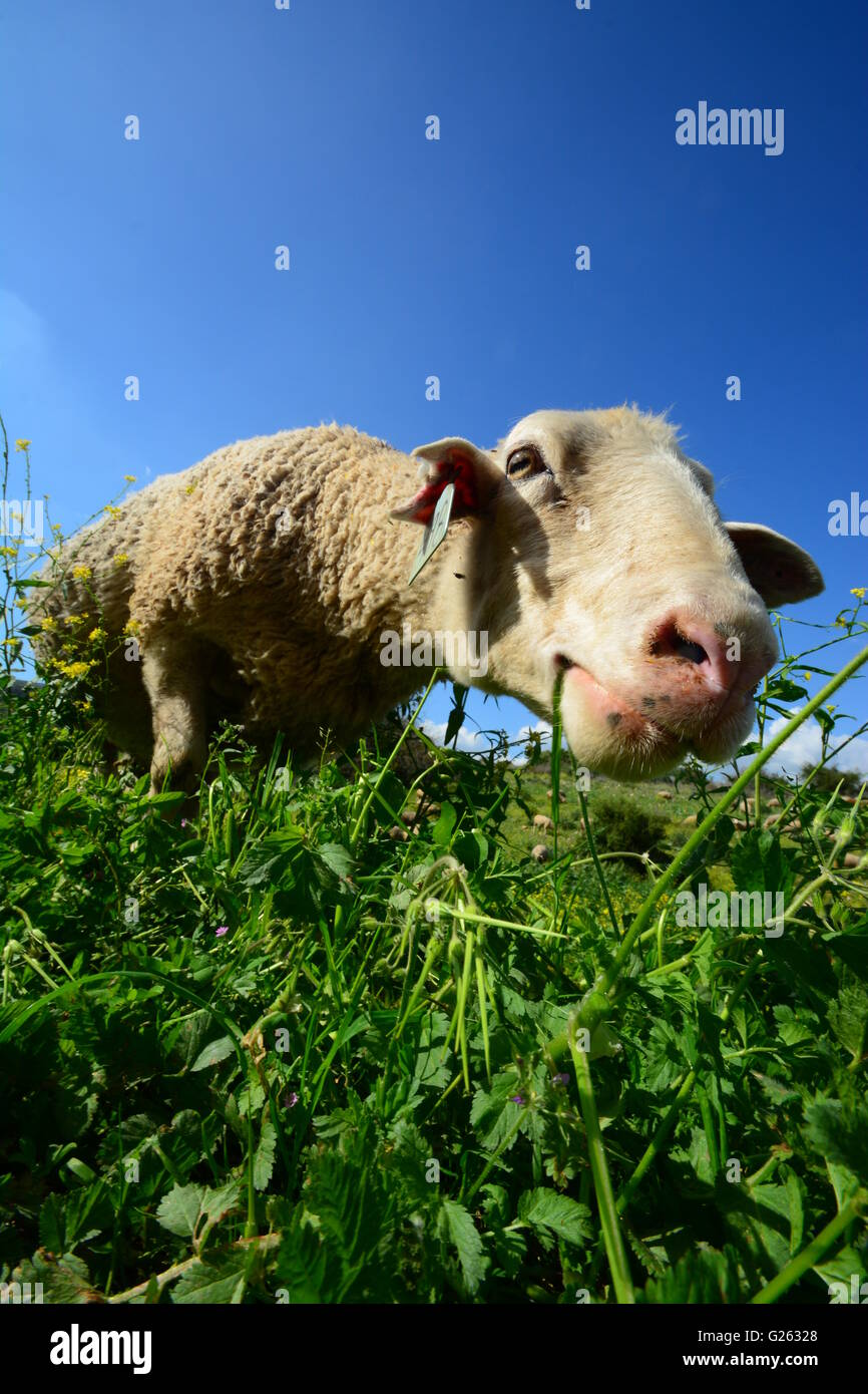 Sheep grazing, Ground view - Stock Image