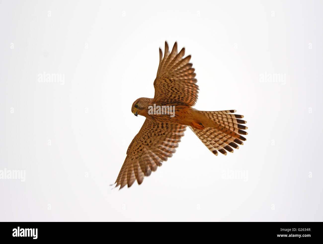 Kestrel hovers while hunting - Stock Image