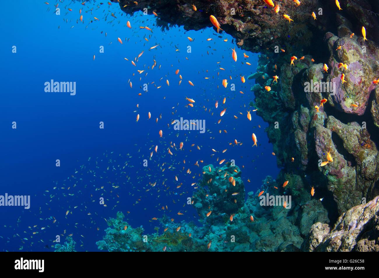 Red Sea, Egypt. 3rd Mar, 2016. Bright orange school of fish Longspine anthias, lyretail coralfish, lyretail anthias, - Stock Image