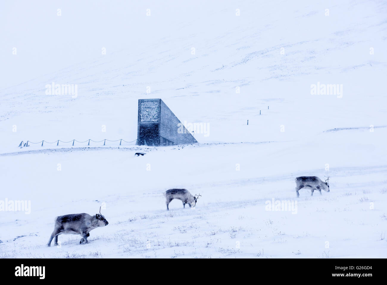 Svalbard Reindeers with Svalbard Global Seed Vault in the background in Winter Longyearbyen, Svalbard, Spitsbergen, - Stock Image