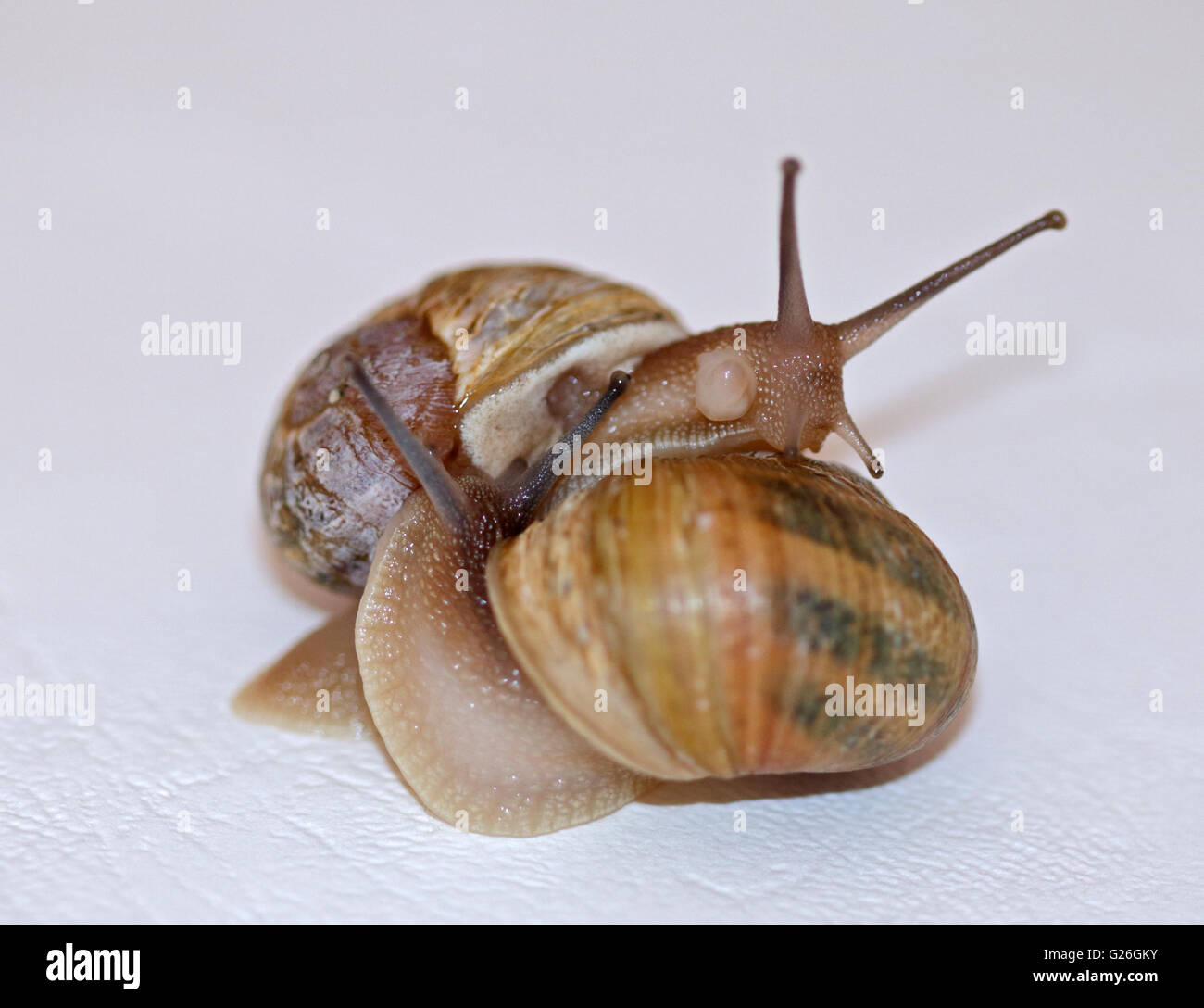 Pair of Common or Garden Snails (helix aspersa/cornu aspersum) performing a courtship ritual - Stock Image
